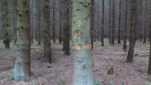 Spruce monoculture before change in native mixed forest, cooperation with the German Wild Animal Foundation